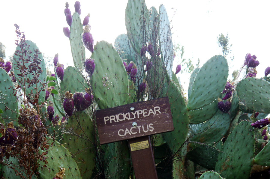 prickly_pear_02