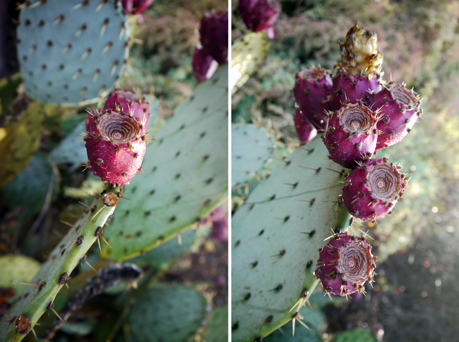 prickly_pear_03